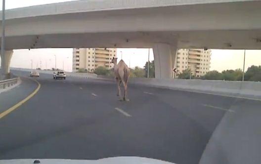 Camello corre suelto por las calles de Dubai